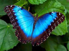 Pepita Gominola: La mariposa azul / The blue Butterfly