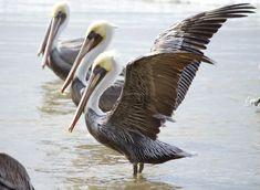 Brown Pelicans on Beach Photo ~ Bird Photography ~ Oregon Coast ~Gray Wall Art ~ Ocean Art ~ Large Beach Decor by #NancyJCreates