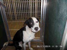 08/23/14 sl ~WILBUR Border Collie & Pit Bull Terrier Mix • Adult • Male • Large Killeen Animal Control Killeen, TX