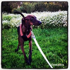 Vito #pasaendoporsagrera #green #primavera #dog #flores #domingosoleado