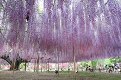 The Most Gorgeous Wisteria Tree in Japan  At the Ashikaga Flower Park in Tochigi (Japan) sits the most incredible Wisteria tree in the world held by beams like an umbrella. Its a climbing plant of the Fabaceae family and from the glycines species. Theyre appreciated for their ornemental aspect and their purple white or blue spring flowers perfect for the big arcades. The one at the Ashikaga Flower Park was planted in 1870 so its 146 years old today.          #xemtvhay
