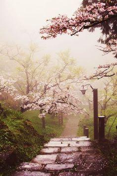 Cherry Blossom Path, Alishan National Scenic Area, Taiwan。台湾阿里山国家风景区樱花道。1903年日本人在阿里山试种樱花,造就了阿里山樱花的美景。每年2至4月间是阿里山的赏花季,导游说以吉野樱数量最多,还有富士樱及八重樱。沿着两条赏樱路线,吉野樱洁白似雪、灿烂耀眼,其他花卉如森氏杜鹃、石楠花、毛地黄等阿里山装点成一片美丽缤纷醉人的花海世界,美不胜收。