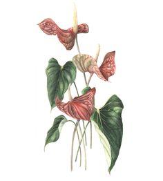 Immagine di http://www.soc-botanical-artists.org/images/Goodson%20Anthurium.JPG.