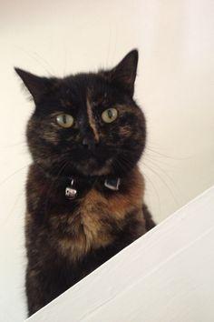 My gorgeously wonderful & cute female Tortoise -Shell cat Misty I love her❤
