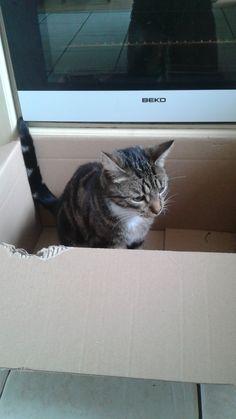 Toby Cat   Pawshake Birkenhead