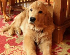 Clyde at 5 months!  Golden Retriever puppy