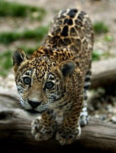 Cutest animal is the jaguar.