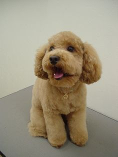 poodle Like and repin please :)