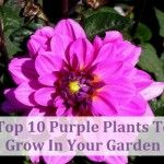 Top 10 Purple Plants To Grow In Your Garden