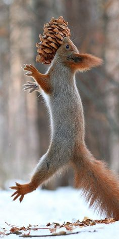 1st round draft pick for  SQUIRREL CITY RAIDERS