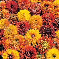 Cherokee Sunset Gloriosa Daisy Seeds Award-winning color and garden performance! Such a glorious assortment of autumn tones, all on big double flowers!
