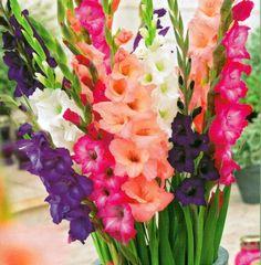 Sunset Mix Large Flowering Gladiolus - 10 Bulbs 12/14cm +