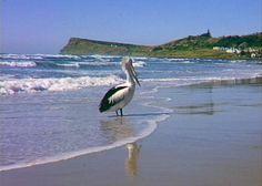 One of my favourite places in the world - Lennox Head Australia Beach, Sandy Beaches, South Wales, Erika, Pet Birds, Coastal, Surfing, Feather, Salt