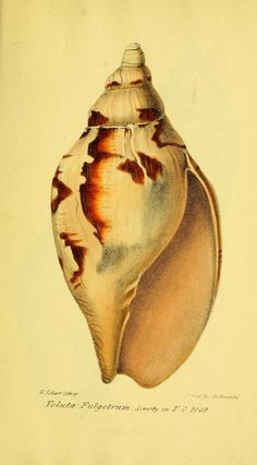 https://flic.kr/p/e2WV1b | n150_w1150 | A catalogue of the shells contained in the collection of the late Earl of Tankerville :. London :Printed by E. J. Stirling for G. B. Sowerby,1825.. biodiversitylibrary.org/page/27433206