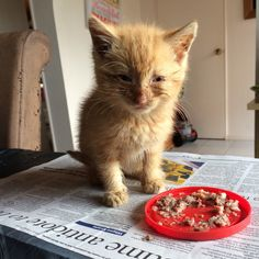 grumpy-mare Mum rescued another kitten! He's very sick but starting to perk up, our house cat Star was very unimpressed that she wasn't allowed closer, I don't even want to think about what my mum's two orange cats are going to think of this