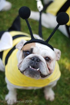 bee! Why is it that that dog looks so happy to be in the costume? I put clothes on my dog and it becomes their immediate mission to remove the costume!