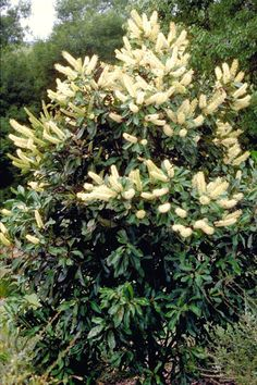 Buckinghamia celsissima, tree (larger in its native QLD) needs warm sheltered position. Highly scented flowers in summer, moist well drained soils Rainforest Plants, Diy Playground, Olive Garden, Garden Inspiration, Garden Ideas, Shade Flowers, Garden Route, Small Ponds, Home Landscaping