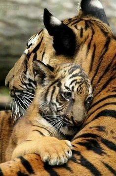 Tiger cub and momma.