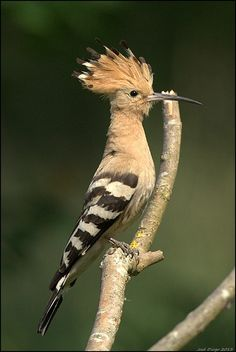 The Hoopoe is a colourful bird that is found across Afro-Eurasia, notable for its distinctive 'crown' of feathers. It is the only extant species in the family Upupidae(Upupa epops)