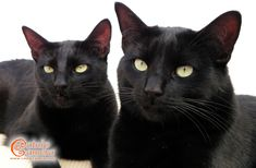 Black Cats | Catnip Camera - These cats are beautiful. I love their look. Incensewoman