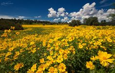Flagstaff, Arizona wildflower meadows overflowing with yellow blooms