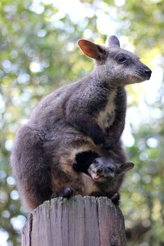 The unexpected arrival of a newborn brush-tailed rock-wallaby at the Taronga Zoo has keepers celebrating as well as scratching their heads. Why? Because Mica, the mother, hasn't been in the company of a male rock-wallaby for more than a year!