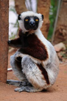 This endangered species weighs about 4 Kg (adult) & can leap about in the tree canopy with its long powerful hind legs.