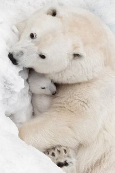 Amazing Mother and Baby Polar Bear..
