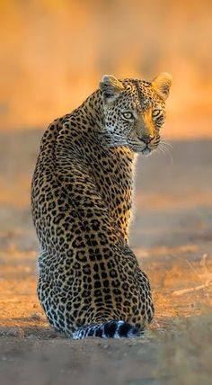 Leopard sitting pretty.                                                                                                                                                      Plus