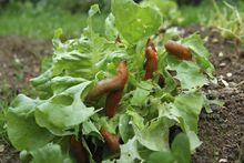 Dix astuces naturelles pour se débarrasser des limaces