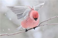 What in the, where in the world is this beautiful Pink Bird? Gorge with the cold, snowy backdrop. Wow.