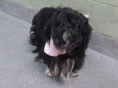 DARLING - ID# A1114883 - URGENT - TO BE DESTROYED 06/15/17 - RESCUE NEEDED - 6 year old Female Shih Tzu/Lhasa Apso mix