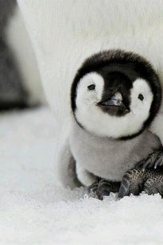 Little penguin.