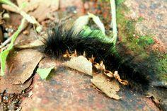 hairy the common...worm