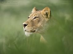 Africa |  Lioness photographed in the northern region of the Kgalagadi Transfrontier Park by Morkel Erasmus