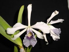 Laelia purpurata var coerulea - Orchid Forum by The Orchid Source