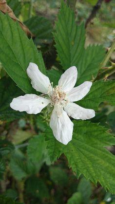 Flor de zarzamora
