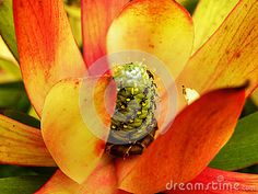 A close-up view of a Leucadendron flower.