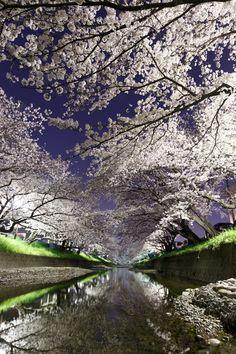 lifeisverybeautiful:Cherry Blossom Aichi Japan via 夜桜. Places Around The World, Around The Worlds, Beautiful World, Beautiful Places, Sakura Cherry Blossom, Cherry Blossoms, Photo Voyage, Japanese Culture, Photos Du