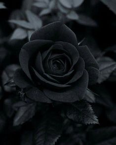 Flowers Photography Black And White Roses 25 Trendy Ideas Black Rose Flower, Black And White Roses, Black And White Aesthetic, Black Swan, Black Phone Wallpaper, Flower Wallpaper, Black Flowers Wallpaper, Dark Photography, Photography Flowers