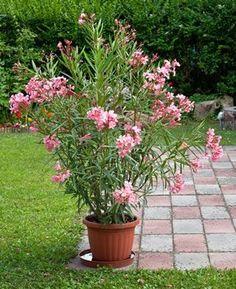 Oleander tips: care, cutting and wintering - pflanzen - Cottage Garden Plants, Herb Garden, Garden Pots, Container Flowers, Container Plants, Container Gardening, Pea Trellis, Bamboo Trellis, Ficus