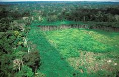 IRD / Bernard Osès La conversión del bosque ecuatorial en pasto y tierras cultivadas destruye el hábitat natural de numerosas especies y constituye una de ...