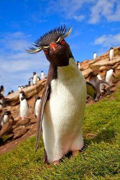 Pingüino de Rockhopper o Pingüino de Penacho Amarillo (Eudyptes chrysocome) . Vive en los océanos pero la ubicación de esta especie comprende tres regiones distintas del hemisferio Austral.