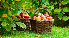 Apple baskets, reflect From: Japanese Flower Garden, please visit Apple Tree, Red Apple, Apple Baskets, Apple Harvest, Harvest Time, In Natura, Apple Orchard, Apple Farm, Farms Living