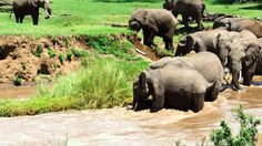 This is the nail-biting moment a herd of elephants attempted to cross the treacherous waters of the Ewaso Nyiro river in Kenya. As the large mammals negotiated the fast flowing waters, one of the el. Herd Of Elephants, Save The Elephants, Giraffes, Giant Salamander, Baby Animals, Cute Animals, Rio, Elephants Never Forget, Elephant Love