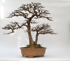 bonsai twins bonsai pinterest bonsai ikebana and gardens rh pinterest com Bonsai Wire Sizes Bonsai Wiring Techniques