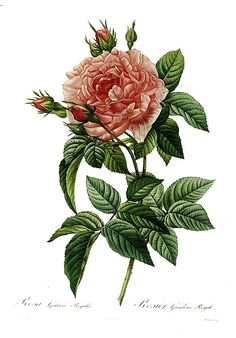 Rosa gallica regalis, a painted engraving of a rose by Pierre-Joseph Redouté (1759–1840). This image is in the public domain because its copyright has expired. #rose #illustration