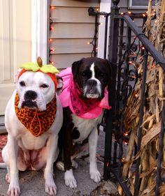 No shame in dressing my fur kids up for Halloween. Brindle boxer, & white boxer/American bulldog.