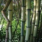 Box of 3 Phyllostachys Aureosulcata Alata Green Crookstem Live Bamboo Plants *** See this great product.