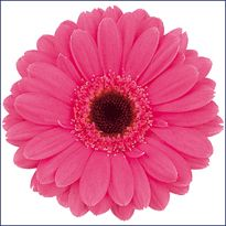 Mini Gerber Daisey.  Hot Pink.  Usually priced at same level as standard Gerber Daisies.  Over 66 availabe colors